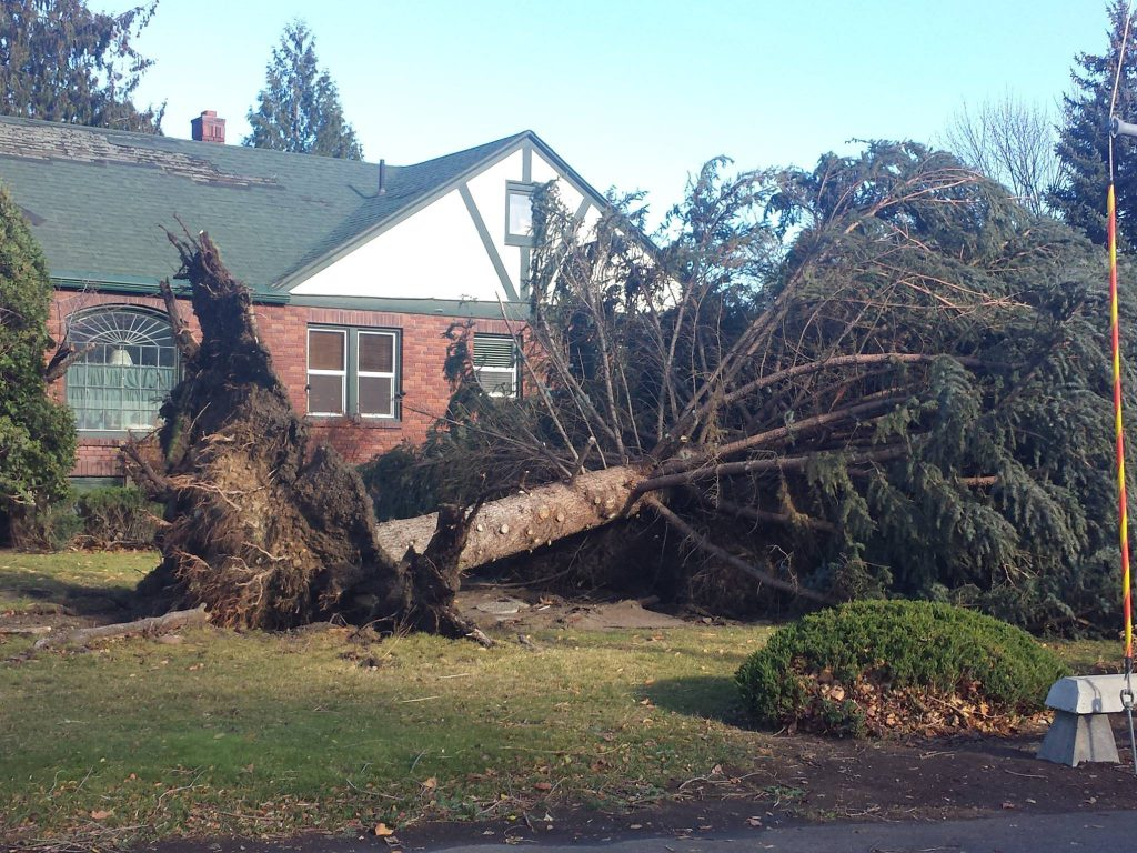 A large pine tree has fallen over in the yard of a house. Its roots are lifted high in the air.