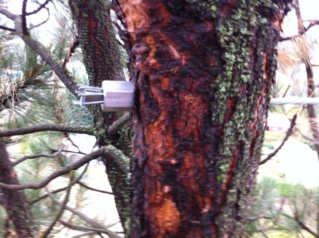 The stem of a pine tree has a cable place through the center, secured by a metal bolt.