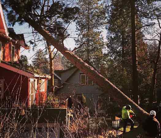 A man with a chainsaw is making a cut at the base of a pine tree leaning over a house.